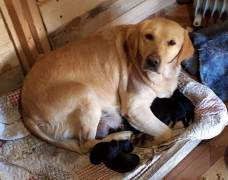 The puppies of mother Labrador Star